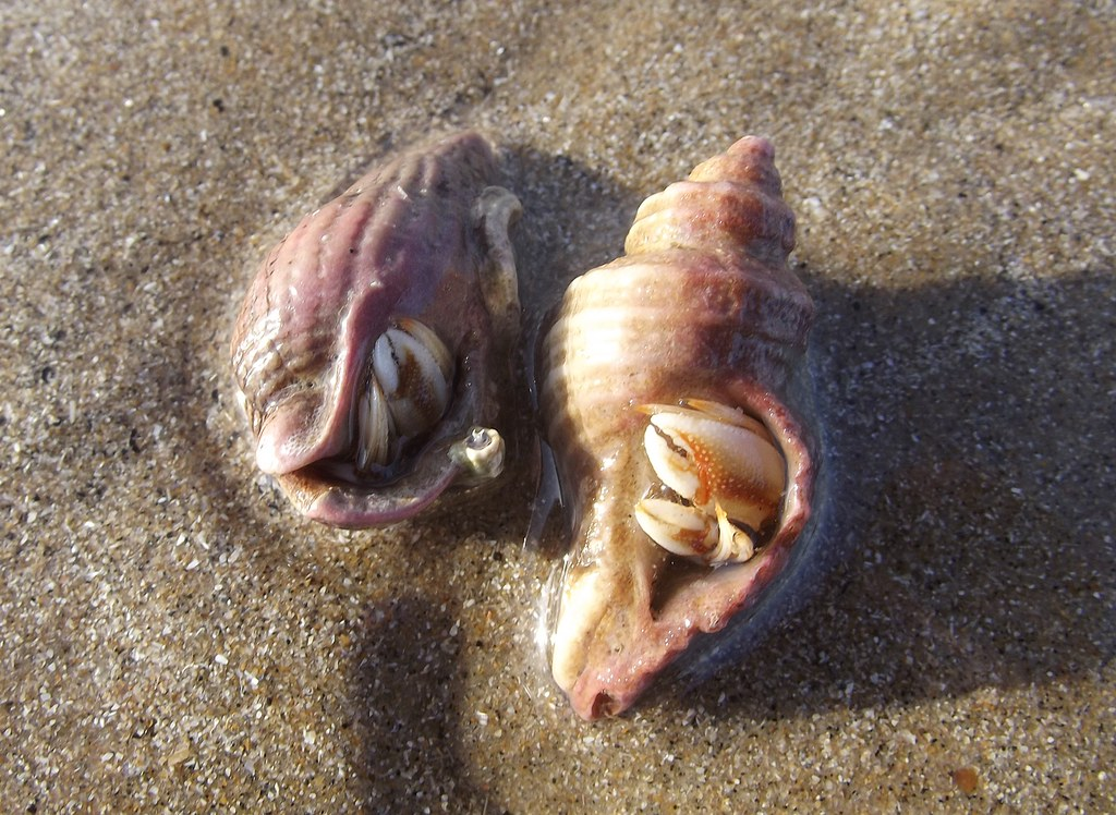 Do Dog Whelks Eat Common Periwinkles