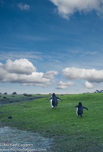 bird nature field grass animals clouds landscape penguin gentoo pair scenic antarctica running