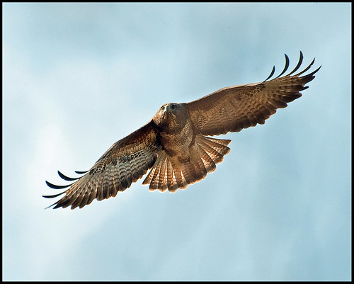 Buzzard in Flight 1