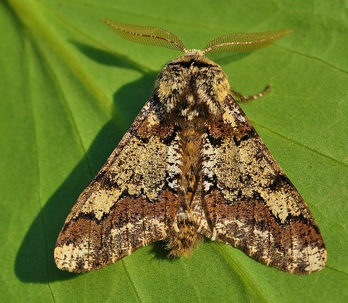 Oak Beauty Biston strataria Moth Blean Woods by Kinzler Pegwell