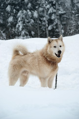 dog breed, animal, west siberian laika, dog, hokkaido, winter, snow, pet, norwegian buhund, mammal, east siberian laika, greenland dog, korean jindo dog, alaskan malamute,