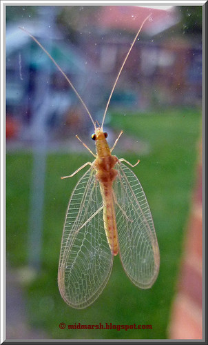 Lacewing P1030473