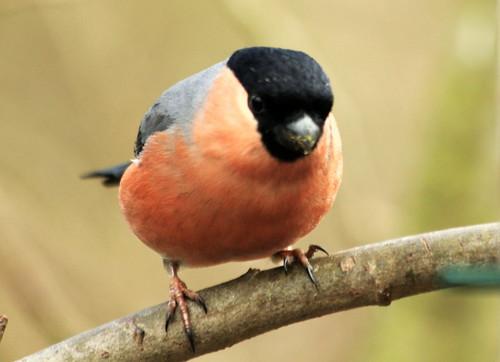 Bullfinch 5572