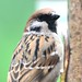 Tree Sparrow (passer montanus) perched