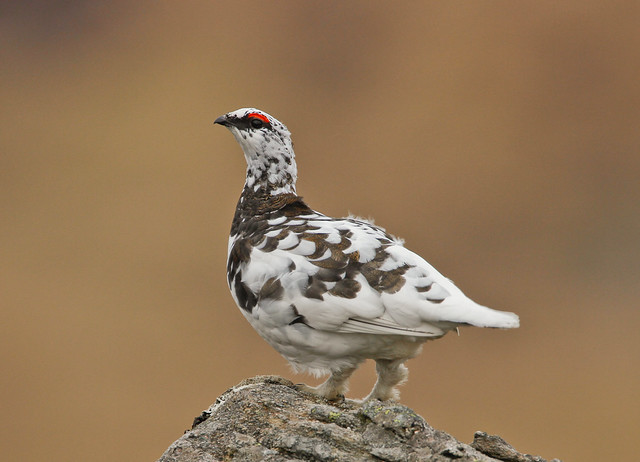ptarmigan 500mm canon 5
