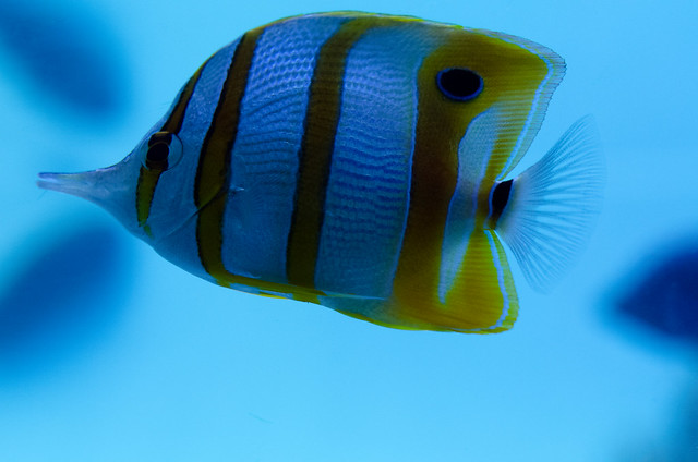 ハシナガチョウチョウウオ Copperband butterflyfish