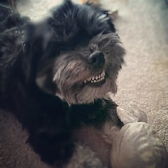 """You got me, Mom. I wuv my bunny!"" Oscar smiled. #Dogs #DogsOfInstagram #Havanese"