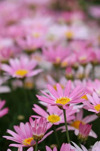 Daisy Garden I