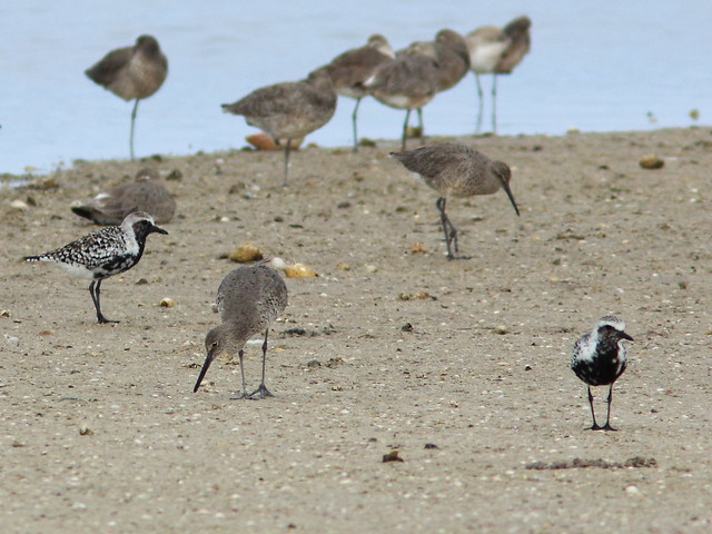 Black-bellied Plovers with Willets 20140422