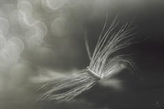 feather light but heavy hearted