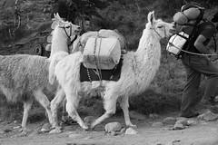 camel(0.0), arabian camel(0.0), animal(1.0), llama(1.0), pack animal(1.0), herd(1.0), monochrome photography(1.0), camel-like mammal(1.0), monochrome(1.0), black-and-white(1.0),