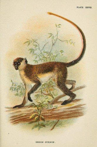 025-Cercopiteco verde-A hand-book  to the primates-Volume 2-1896- Henry Ogg Forbes