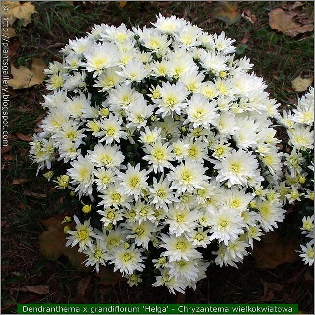 Dendranthema x grandiflorum 'Helga' - Chryzantema wielkokwiatowa