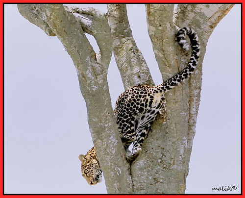 LEOPARD CLIMBING DOWN TREE...
