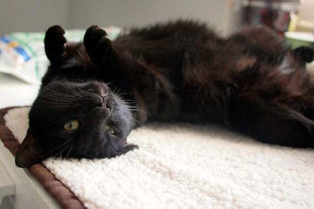 Lila cat