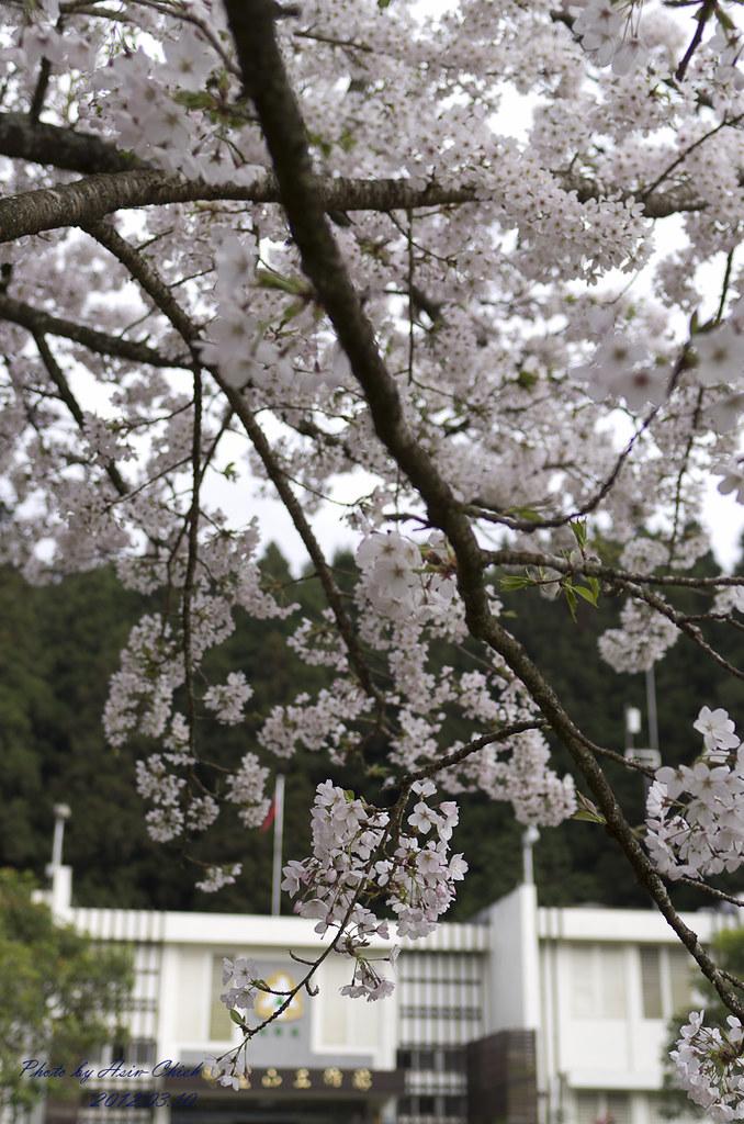 20120310-阿里山賞櫻記(1)