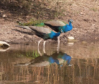 Indian Peafowl - Ranthambhore