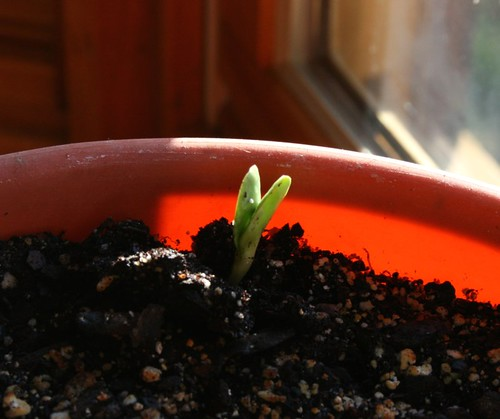 SunflowerSproutMarch2012