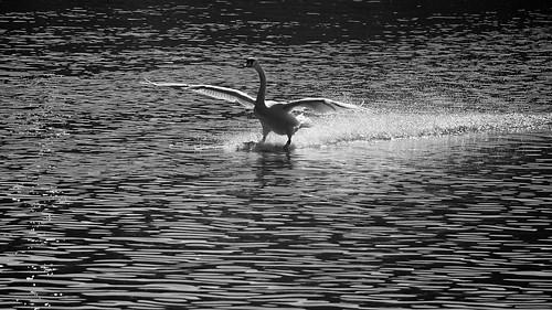 bird swan daily luxembourg moselle birdinflight wasserbillig flickraward sonyslta65 minoltaaf100300f4556