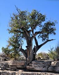 Montezuma Well Nat'l Monument: One-seed Juniper