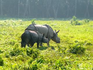 Asian One-Horned Rhinos