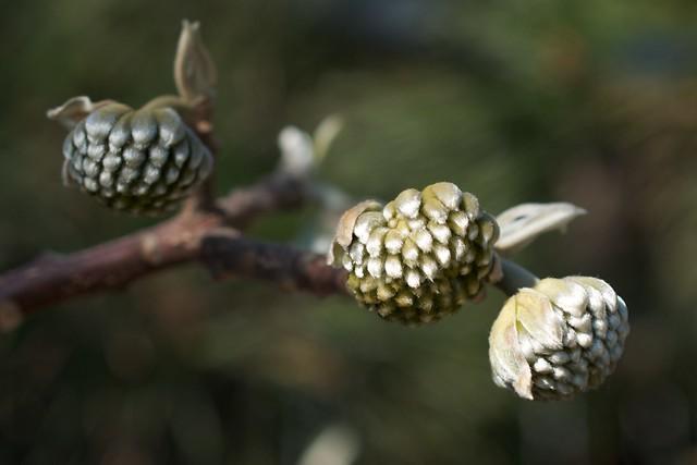 paperbush - mitsumata