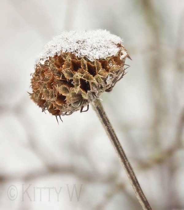 Snow Capped Seed Head