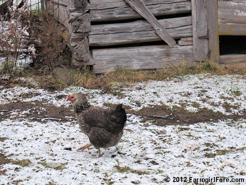 Chickens on snow 7 - FarmgirlFare.com