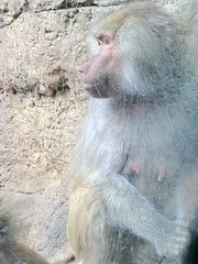 japanese macaque(0.0), animal(1.0), baboon(1.0), monkey(1.0), mammal(1.0), fauna(1.0), old world monkey(1.0), macaque(1.0),