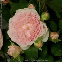 Róża 'Eglantyne'
