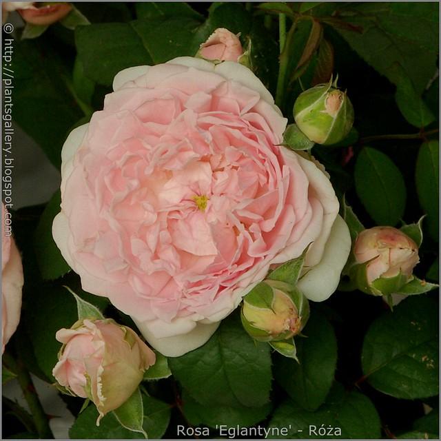 Rosa 'Eglantyne' - Róża 'Eglantyne'