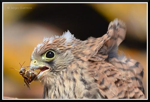 Francelho / Lesser Kestrel / (Falco-naumanni) by Sérgio Guerreiro