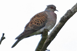 072053-IMG_2908 Turtle Dove (Streptopelia turtur)