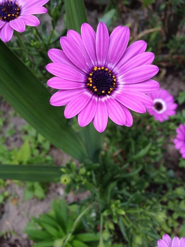 Margarita violeta (Osteospermum fructicosum)