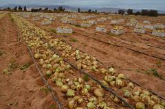 實施慣行農法的洋蔥田
