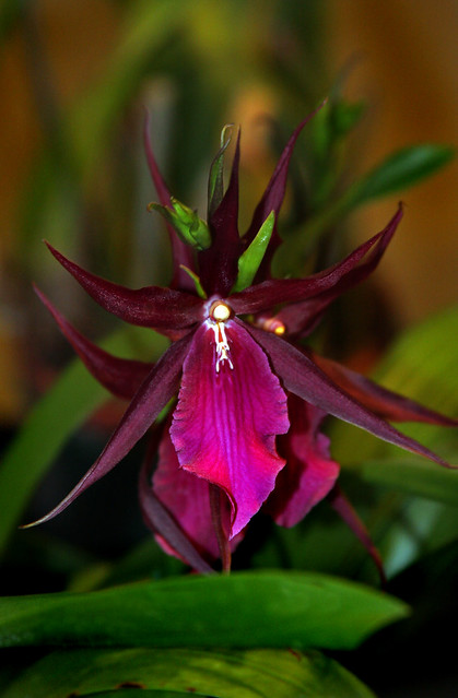 Orquídea Mi Honidium - Royal Robe