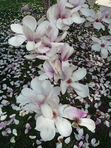 Wheaton, IL, White Magnolia Blossoms and Petals