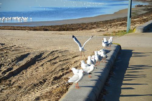 Silver Gulls 01