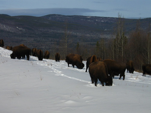 Roadside-bison