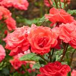 Rose Framenco バラ フラメンコ