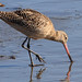 Marbled Godwit - Photo (c) Lynn Watson, all rights reserved
