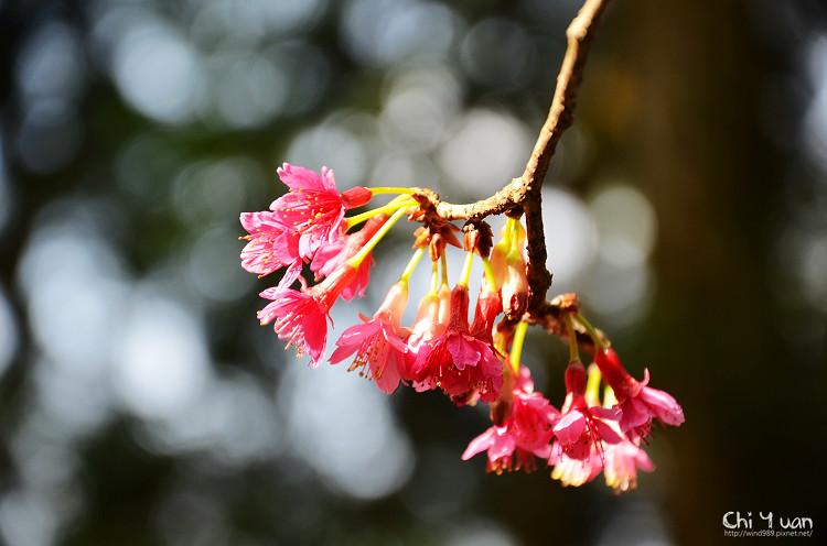 九族文化村櫻花祭-日14.jpg