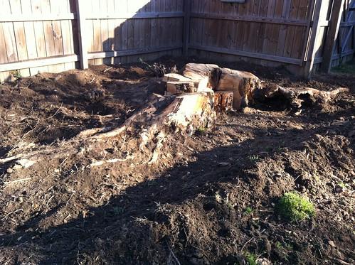 excavation of the stump