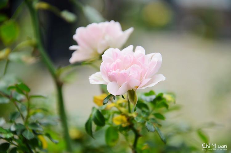 2012士林官邸玫瑰季14.jpg