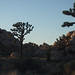 Joshua trees and rocks
