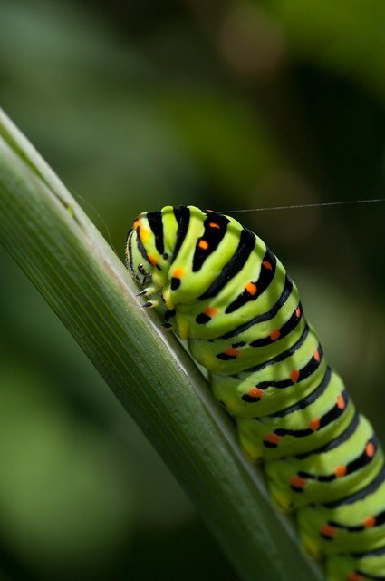 swallowtail caterpillar close up