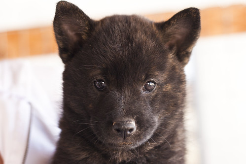 Ayu-Litter1-Day47-Puppy2-Female(Sachi)-a