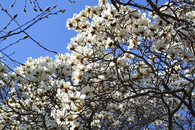 Magnolia denudata on Magnolia Plaza. Photo by Elizabeth Peters.
