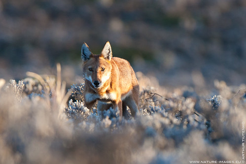 Ethiopian Wolf by Ethiopian Wolf Photography