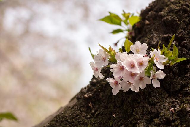 Photo:Somei-yoshino (O-okayama, Tokyo, Japan) By t-mizo